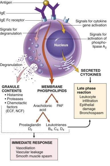 PatogenesisDermatitisAtopikLatelierDeJosephine