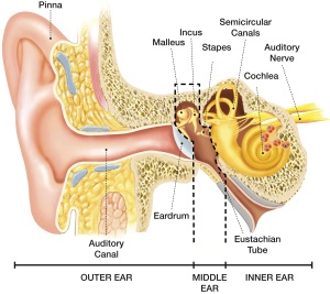 115Image_-_Anatomy_of_the_Ear(1)