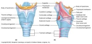 larynx-figure