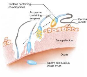 The_process_of_fertilization